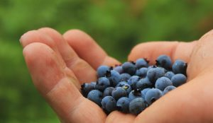 blueberries-801571_1920